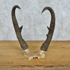 horns for sale pronghorn antelope horns for sale 12564 the taxidermy store