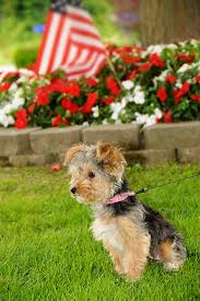 bichon frise good and bad yorkipoo dog breed information pictures characteristics u0026 facts