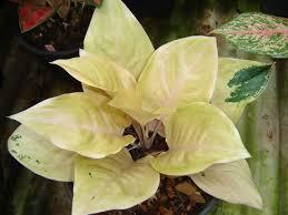 aglaonema thai aglaonema exporting aglaonema thai variety flower plant to
