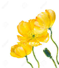yellow poppy isolated on white oil painting stock photo picture