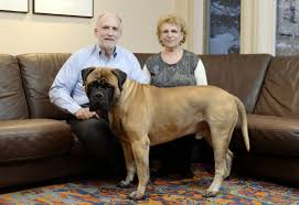 who won the dog show on thanksgiving westminster dog show toronto bullmastiff zachery debuts in the
