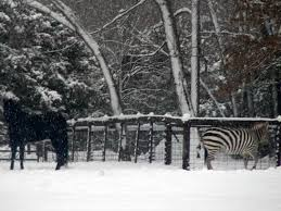 here u0027s a picture of an actual zebra hanging out in the snow in