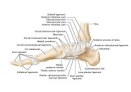 Lateral Collateral Ligament Ankle Ankle And Foot Ligaments Lateral View
