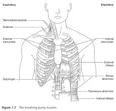 Anatomy And Physiology Of Speech Breathe Strong Perform Bettter Anatomy And Physiology Of Muscles