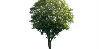 different types of trees deciduous tree types quiz by mogley