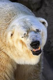 u0027s saddest polar bear arturo dies 3 partner