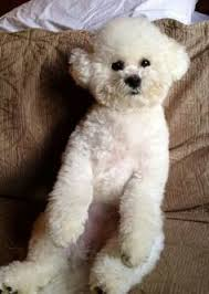 bichon frise puppy cut bichon lamb cut after with breed style haircuts for molly