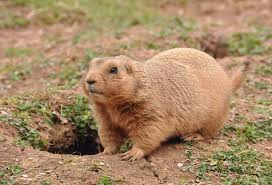 prairie dogs fun facts you may not know