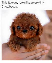 Chewbacca Memes - this little guy looks like a very tiny chewbacca chewbacca meme