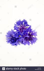Bachelor Buttons Edibles Flowers Bachelor Buttons That Are Blue Texture And Shape