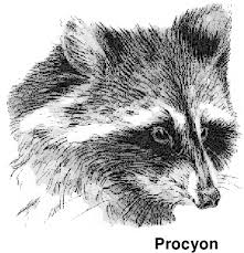 free raccoon clipart 1 page of public domain clip art