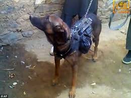 belgian malinois k9 attack k9 units that storm buildings with special forces and protect