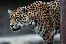 juma the jaguar was shot dead after fleeing an rio olympics torch