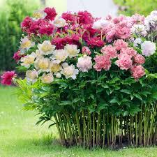 best 25 peonies garden ideas on pinterest growing peonies