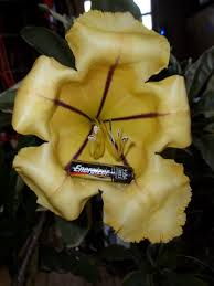 Tropical Fragrant Plants - 42 best fragrant climbers images on pinterest climber flower