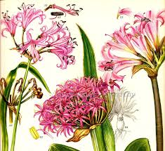 South African Wild Flowers - pink wild amaryllis flower specimens of south africa