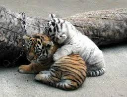 the true meaning of friendship baby tigers tigers and