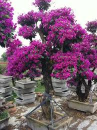 Bougainvillea Topiary - how to grow bougainvilleas bougainvillea front yards and yards
