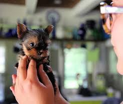 bichon frise vs yorkie yorkie puppies dogtime