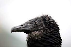 Seeking Vulture The Garbage Fighting Vultures Of Lima Peru The Atlantic
