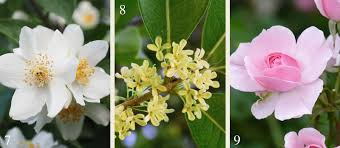 Which Jasmine Plant Is Most Fragrant - 21 plants for a fragrant garden flower power