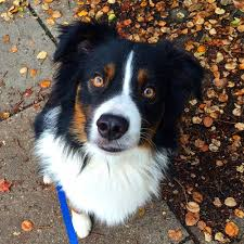 australian shepherd quirks testimonials u2014 the working walk