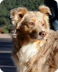 australian shepherd velcro dog banjo asrm 0091 a stunning 16 month old akc registrable black tri