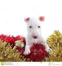 pretty bull terrier pet on a ornaments royalty free