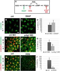 the role of nitric oxide during embryonic epidermis development of