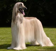 afghan hound club of st louis 190 best saluki images on pinterest animals afghan hound and
