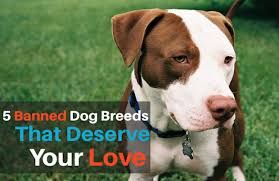 american pitbull terrier illegal 5 banned dog breeds that deserve your love pawculture