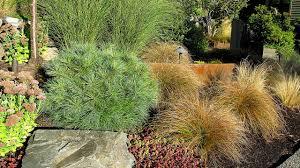 dwarf conifers colorful u0027bones u0027 of the winter garden heraldnet com