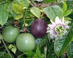 amazon com passiflora u0027possum purple u0027 edible purple passion