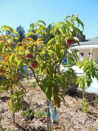 grocery outlet fruit trees duarte are back hill