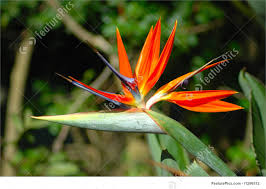 bird of paradise flower flowers bird of paradise flower stock picture i1296512 at
