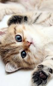 42 best cats images on pinterest cats animals and adorable animals