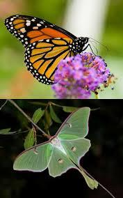 lepidoptera wikipedia