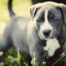 american pitbull terrier yavru 68 best pets images on pinterest animals boxer love and boxer