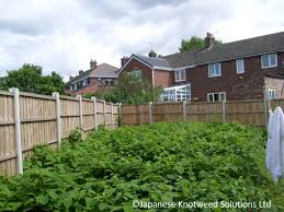 native plants of japan everything you need to know about japanese knotweed jksl