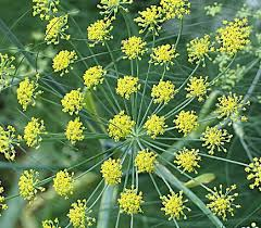 Teh Adas benih fennel adas