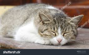 striped cat sleeping dreaming on bench stock photo 187243994