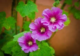 hollyhock plant care how to grow hollyhocks