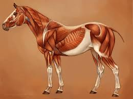 Interactive Muscle Anatomy Horse Muscles Reference By U003deponagirl On Deviantart Horses