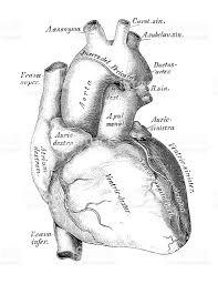 Heart Anatomy Arteries Human Anatomy Scientific Illustrations Heart Veins And Arteries