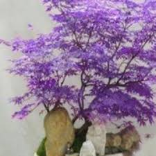 compare prices on purple maple tree online shopping buy low price
