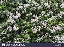 kalmia latifolia flowers of kalmia latifolia mountain laurel calico bush or