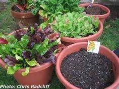 how to grow broccoli in containers want to know how to grow
