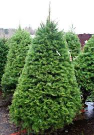 douglas fir christmas tree christmas tree lots carpinito brothers