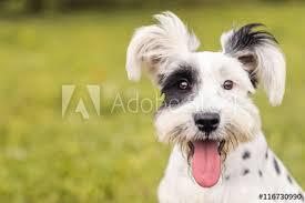 black white schnauzer dalmatian dog tongue