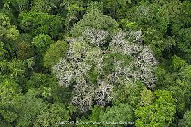 canopy amazon minden pictures stock photos silk cotton tree ceiba pentandra